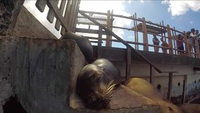 Galapagos penguins swimming underwater. Galagapos, EcuadorSleeping Sea Lion on a bench, Galapagos Islands stock video footage