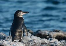 Galapagos-Pinguin Stockfotografie