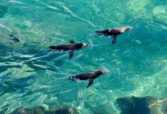 Galapagos-Pinguine bei Bartolome lizenzfreies stockfoto