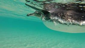Galapagos-Pinguine, die unter Wasser schwimmen Galagapos, Ecuador stock video