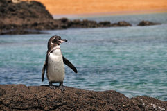 galapagos pingwin Zdjęcia Royalty Free