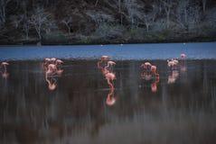 Galapagos pink flamingos stock photography