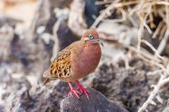 Galapagos a plongé en île d'Espanola Photo stock