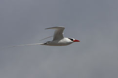 Galapagos red-billed tropic bird in flight Royalty Free Stock Photos