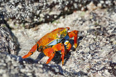 Galapagos red rock crabs Royalty Free Stock Photos