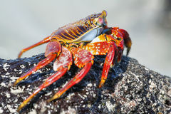 Galapagos red rock crabs Royalty Free Stock Photography