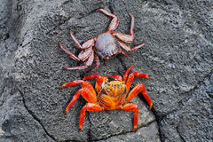Galapagos red rock crabs Stock Image