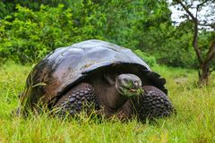 Galapagos-Riesenschildkröte auf Santa Cruz Island in Galapagos Natio lizenzfreie stockfotos