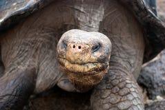 Galapagos-Riesenschildkröte-Nahaufnahme lizenzfreies stockfoto