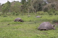 Galapagos-Riesenschildkröten auf einem Gebiet Lizenzfreie Stockfotografie