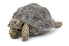Galapagos-riesige Schildkröte Lizenzfreie Stockfotografie