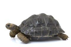 Galapagos-riesige Schildkröte Stockbild