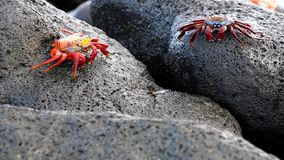 Galapagos sally lightfoot crab - mouths twitch.