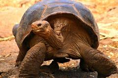 Galapagos-Schildkröte Lizenzfreies Stockbild