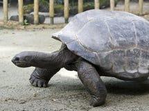Galapagos-Schildkröte Lizenzfreies Stockfoto