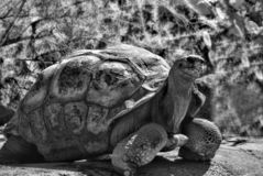 Galapagos-Schildkröte Lizenzfreie Stockfotos