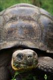 Galapagos-Schildkröte. Stockbild