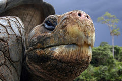 Galapagos-Schildkröte lizenzfreie stockbilder