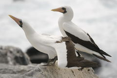 Galapagos Sea Birds Royalty Free Stock Images