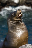 Galapagos Sea Lion. On South Plaza Island in the Galapagos Islands Royalty Free Stock Photos