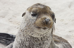 Galapagos Sea Lion Stock Images