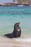Galapagos sea lion. A galapagos sea lion in the water Royalty Free Stock Photos
