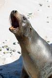 Galapagos Sea Lion. Barking sea lion in the Galapagos Islands stock image