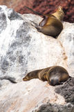 Galapagos Sea Lion. Resting Sea Lion in the Galapagos Islands royalty free stock image