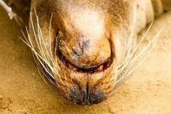 Galapagos Sea Lion. Lying on his back on the beach royalty free stock images