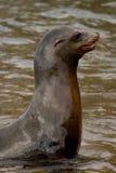 Galapagos Sea Lion. Coming to shore stock photos