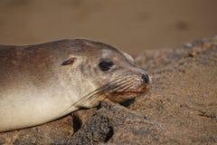 Galapagos sea lion. Sunbathing on the rocks Royalty Free Stock Photos