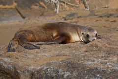 Galapagos sea lion. Resting on the rocks Stock Images