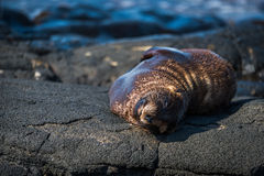 Galapagos sea lion asleep on volcanic rock Stock Photos