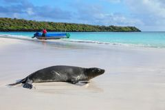 Galapagos sea lion on the beach at Gardner Bay, Espanola Island, Galapagos National park, Ecuador. These sea lions exclusively breed in the Galapagos royalty free stock image