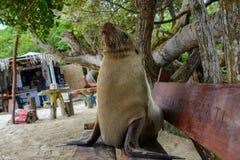 Galapagos sea lion on a bench seat, Galapagos islands Ecuador Royalty Free Stock Photo