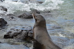 Galapagos Sea Lion. Close up of Galapagos Sea Lion at the sea Stock Photography