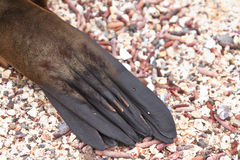 Galapagos sea lion close up, paw Royalty Free Stock Image