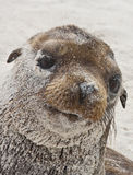 Galapagos Sea Lion, Covered Stock Image