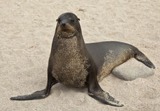 Galapagos Sea Lion Covered Royalty Free Stock Photo