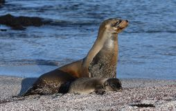 Galapagos sea lion with cub 1. Unique species of wildlife on the Galapagos Islands Ecuador. Sea lion and newborn cub on the beach Stock Photo