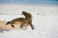 Galapagos Sea Lion enjoying the sun Stock Images