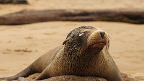 A Galapagos Sea Lion with eye infection.  stock images