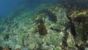 Galapagos sea lion and green sea turtle underwater. Sea lion swimming around green sea turtle feeding on seaweed underwater in the Galapagos Islands stock footage