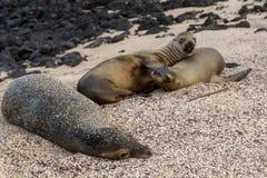 Galapagos sea lion in Galapagos Islands. Galapagos sea lion Zalophus wollebaeki in Galapagos Islands, Ecuador Stock Photo