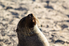 Galapagos Sea Lion. (latin Zalophus wollebaeki) covered in sand and posturing on a beach Royalty Free Stock Photography