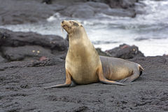 Galapagos Sea LIon on a Lava Bed Royalty Free Stock Image
