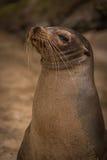Galapagos sea lion looking straight at camera Royalty Free Stock Image