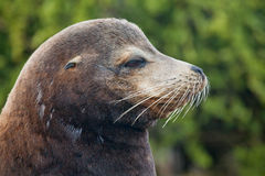 Galapagos sea lion male. Galapagos sea lion close up, beach master male Stock Images
