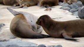 Galapagos sea lion stock video