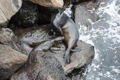 Galapagos sea lion Stock Images